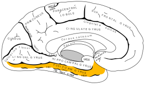 Occipitotemporal or Fusiform Gyrus